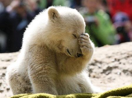 Knut_berlin_polar_bear