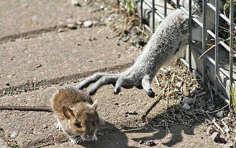 Mouse_Lemur