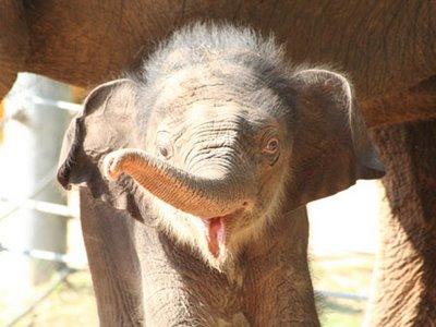 Mac_elephant