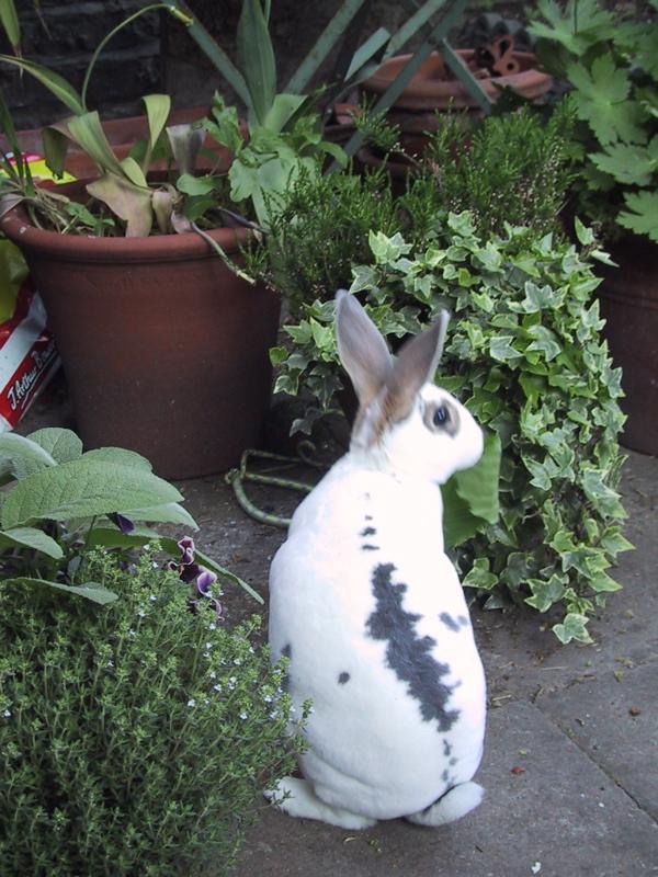 Pixie_the_rabbit